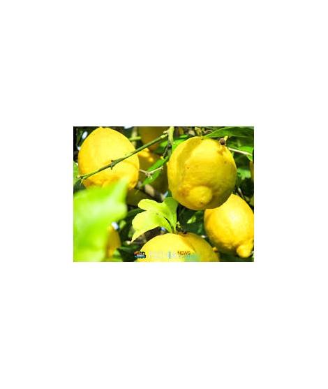 Limoni Italia